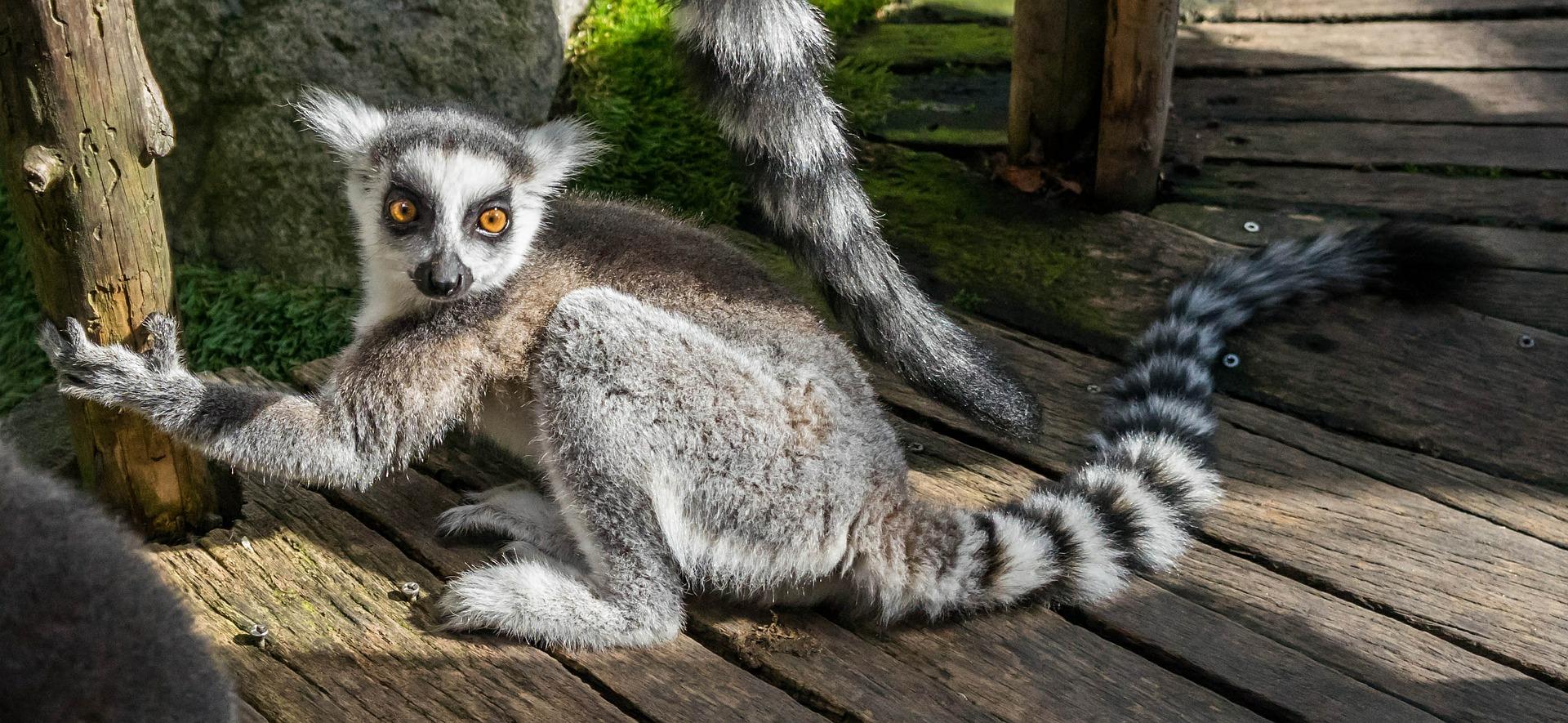 Lemur z Madagaskaru